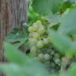 Austrian Wine Country – I. Part