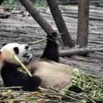 Giant Pandas Are No Longer Endangered, Says China