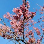 Japan's Cherry Blossoms Peak on Earliest Date in 1,200 Years in Sign of Climate Change